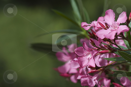 Oleander in bloom stock photo, Oleander bloom in spring, background and ecology manual by mkocijan