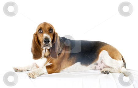 Bassett Hound stock photo, Basset Hound dog on white background by visceralimage