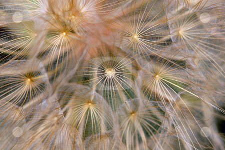 Dandelion background stock photo, Dandelion flowering plant macro. Abstract texture background. by sirylok