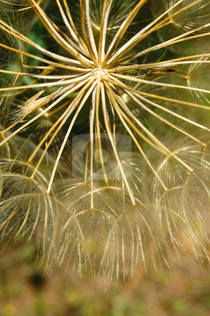 Dandelion macro stock photo, Dandelion flowering plant detail. Abstract texture background. by sirylok
