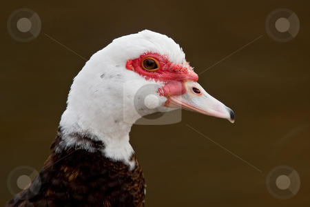 Muscovy Duck (Cairina moschata) stock photo, Portrait of a drake muscovy duck against a dark brown background. by Glenn Price