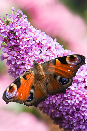 Peacock butterfly on pink flowers stock photo, Peacock butterfly on pink flowers of butterfly bush by Colette Planken-Kooij