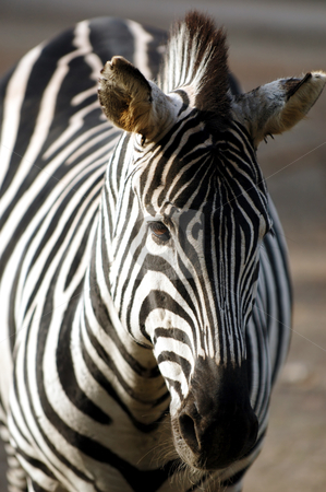 Zebra stock photo, Zebra standing in the sun by Lars Christensen