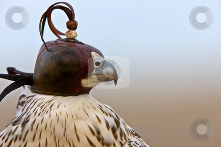 Gyrfalcon with hood falconer close stock photo, Gyrfalcon with hood falconer close by Mark Duffy