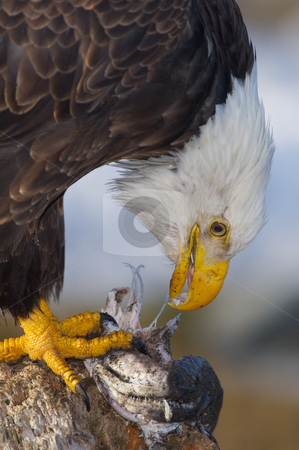 Alaskan Bald Eagle, Haliaeetus leucocephalus stock photo, Alaskan Bald Eagle, Haliaeetus leucocephalus, eating a fish on a log by visceralimage