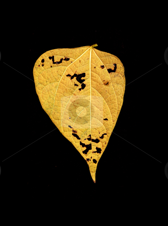 Autumn colored leaf  stock photo, Autumn colored leaf in a black background  by sauletas