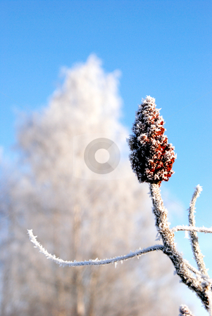 White frost  stock photo, White frost on the plants. Winter art.  by sauletas