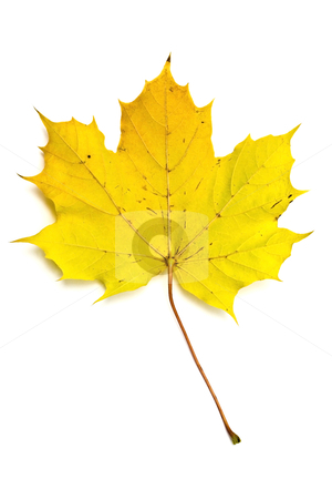 Autumn yellow maple leaf stock photo, Autumn yellow maple leaf isolated on white background by Ingvar Bjork