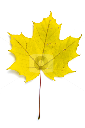 Autumn yellow maple leaf isolated on white stock photo, Autumn yellow maple leaf isolated on white background   by Ingvar Bjork