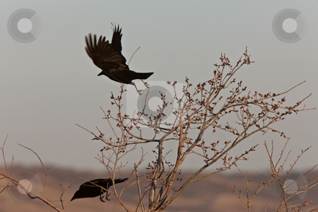 Crows in Flight Saskatchewan Canada stock photo, Crows in Flight Saskatchewan Canada by Mark Duffy