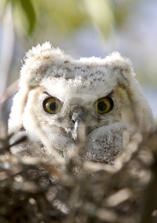 Great Horned Owl Babies Owlets in Nest stock photo, Great Horned Owl Babies Owlets in Nest by Mark Duffy