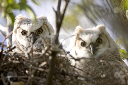 Owl Nest Owl Babies Owlets in Nest