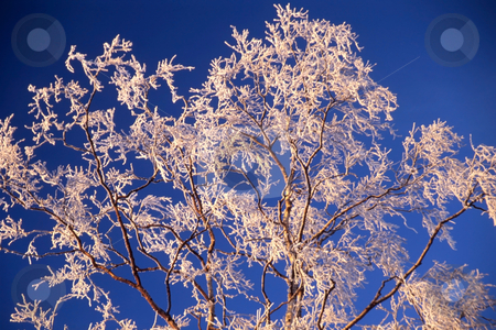 Frozen tree in sunshine  stock photo, Beautiful frozen tree icloseup in blue sky by Ingvar Bjork