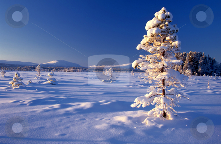 Beautiful winter landscape of big frozen tree  stock photo, Beautiful winter landscape of big frozen tree in sunshine   by Ingvar Bjork
