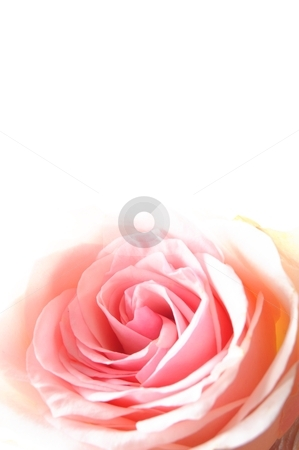 Rose flowers stock photo, beautyful roses bouquet with copyspace showing love or gift concept by Gunnar Pippel
