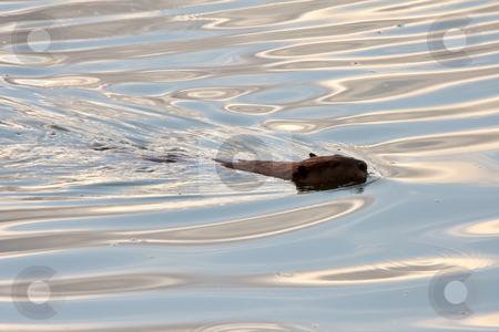 Beaver swimming in clear water stock photo, Beaver swimming in clear water by Mark Duffy