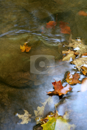 Autumn Leaf Shimmer stock photo, A bunch of maple leaves in a stream in autumn.  The shot was taken with a slow shutterspeed to  give the water it's milky look.  by Chris Hill