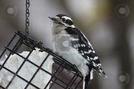 Downy Woodpecker Eating Suet stock photo, A Downy Woodpecker eating suet from a hanging bird feeder.  by Chris Hill