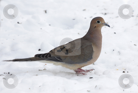 Mourning Dove in the Snow stock photo, A Mourning Dove in the snow, perked up at attention.  by Chris Hill