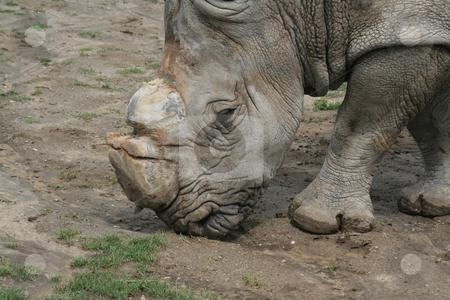 White Rhino Feeding stock photo, A white rhino feeding at a zoo.  by Chris Hill