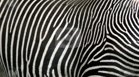 Zebra Hide stock photo, A close up of zebra hide. by Chris Hill