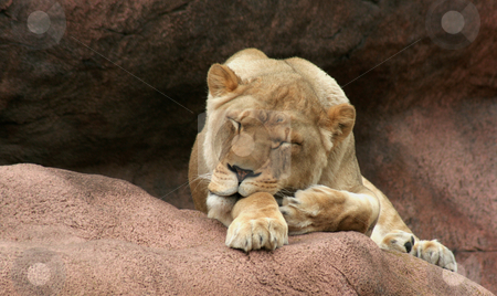 Sleeping Beauty stock photo, A sleeping lioness on a large rock.  by Chris Hill