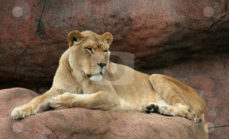 Master of her Domain stock photo, A lioness sitting on her a rock, watching over her domain. by Chris Hill