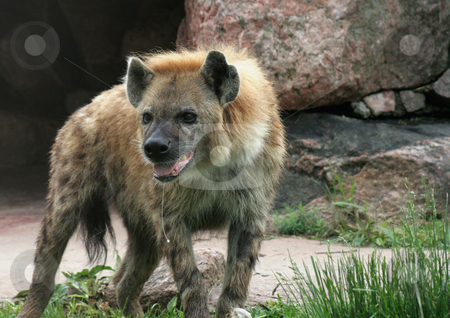 Drooling Hyena stock photo, A spotted hyena, with drool hanging out of it's mouth. by Chris Hill