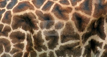 Giraffe Hide stock photo, A close up of giraffe hide.  by Chris Hill