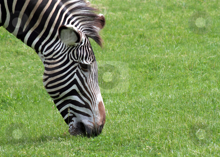 Grazing Zebra stock photo, A zebra grazing on green grass. by Chris Hill