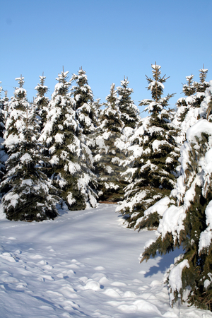 Snow Covered Spruce stock photo, A path running through a bunch of snow covered evergreens.  by Chris Hill