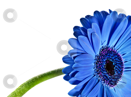 Close up abstract of a blue daisy gerbera stock photo, Close up abstract of a blue daisy gerbera on white by tish1