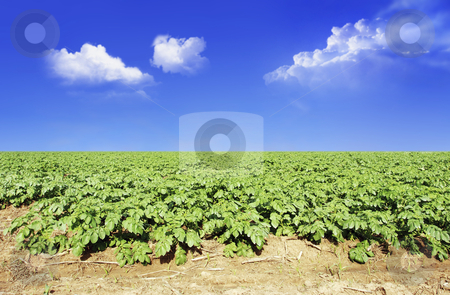 Potato field against blue sky and clouds stock photo, Potato field against blue sky and clouds in sunlight by tish1