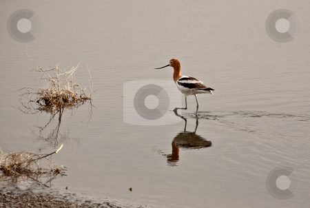 Avocet wading through shallows stock photo, Avocet wading through shallows by Mark Duffy