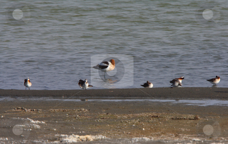 Wilson's Phalaropes with lone sleeping Avocet stock photo, Wilson's Phalaropes with lone sleeping Avocet by Mark Duffy