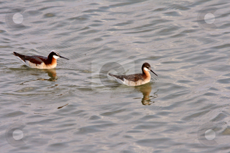 Pair of Wilson's Phalaropes at Chaplin Lake stock photo, Pair of Wilson's Phalaropes at Chaplin Lake by Mark Duffy
