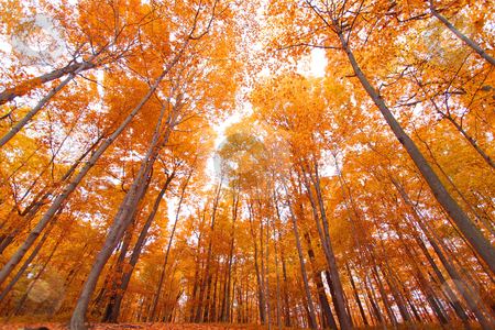 Tall autumn trees stock photo, Bright colored tall autumn trees in Mayberry state park Michigan by Sreedhar Yedlapati