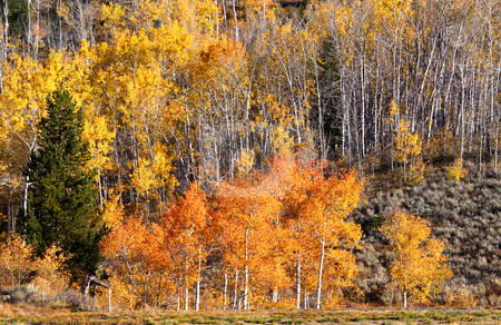 Autumn trees stock photo, Autumn trees on a hill in Wyoming in end of September by Sreedhar Yedlapati