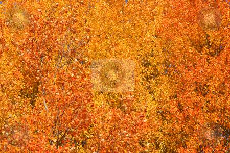 Autumn background stock photo, Aspen tree leaves good for autumn background by Sreedhar Yedlapati