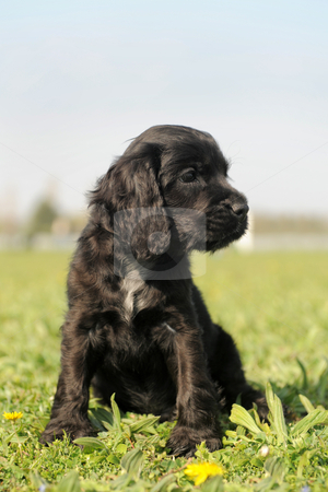 Puppy english cocker stock photo, portrait of a puppy purebred english cocker in a field by Bonzami Emmanuelle