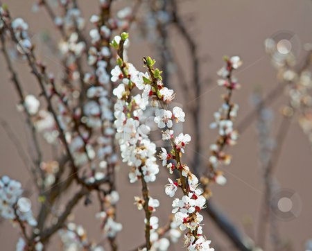Cherry flowers stock photo, Close up of white cherry flowers on a tree by Fabio Alcini