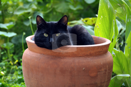 Flowerpot cat stock photo, Black cat sheltering from cold wind in a flowerpot. by sirylok