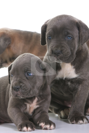 Puppy italian mastiff cane corso stock photo, beautiful young puppy italian mastiff cane corso ( 5 weeks ) by vladacanon1