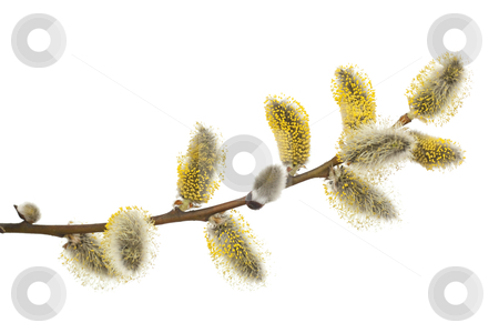 Willow stock photo, Pussy -willow in bloom on white background by Jolanta Dabrowska