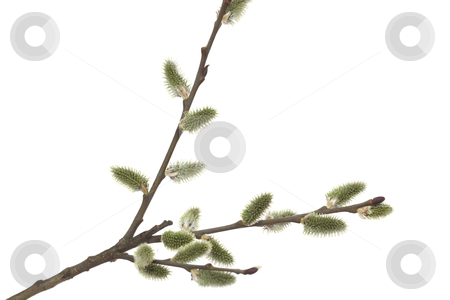 Willow stock photo, Willow branch with bloom bud on white background by Jolanta Dabrowska