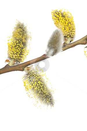 Willow stock photo, Pussy- willow in bloom on white background by Jolanta Dabrowska