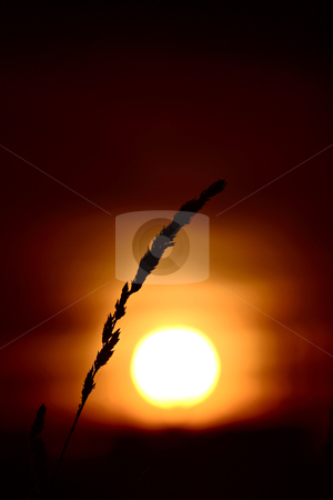 Grass head silhouetted by rising sun stock photo, grass head silhouetted by rising sun by Mark Duffy