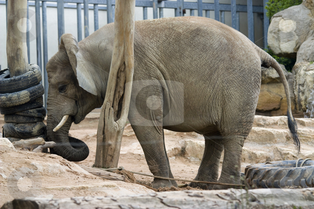 Elephant  stock photo, photo of a big elephant in the park by Sabino Parente