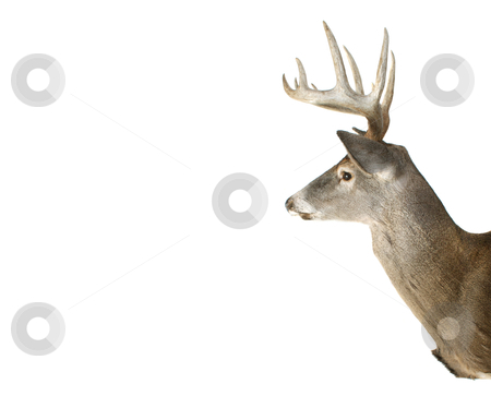 Whitetail Buck Deer Head Profile With Adspace stock photo, An Isolated Whitetail Buck Deer Head Profile With Ad Space by David Schliepp