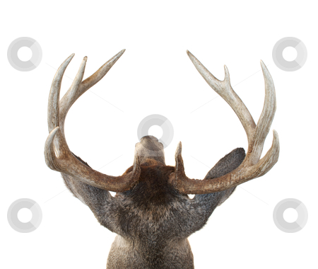 Whitetail Deer Buck Head From Above stock photo, View of a Whitetail Deer Buck Head from Above Isolated on White by David Schliepp